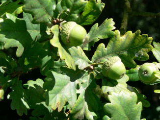 Pedunculate oak acorns