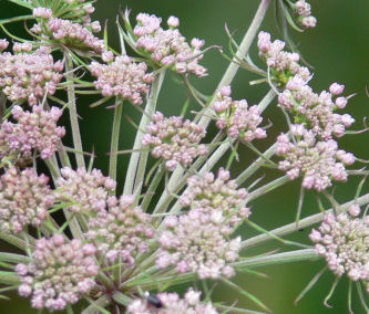 Close-up of angelica flower