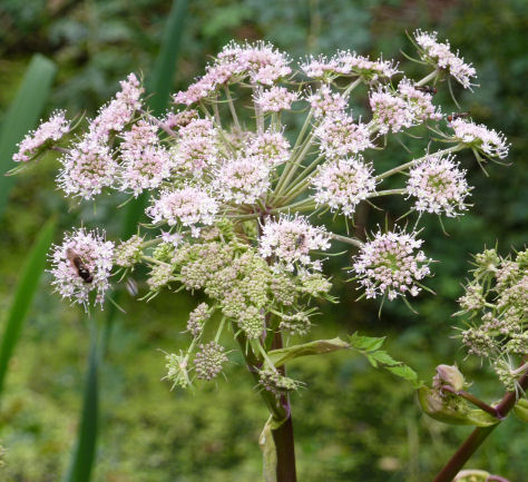 Angelica flower head