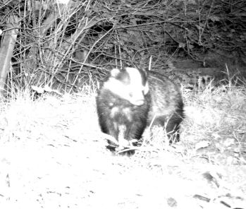 Badger at Alvecote Wood