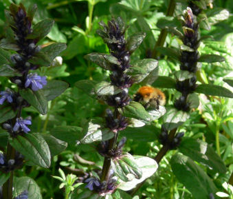 Bee on Bugle at Alvecote Wood