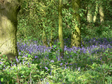 Bluebells in flower at Alvecote Wood