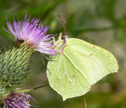 Brimstone butterfly on thistle