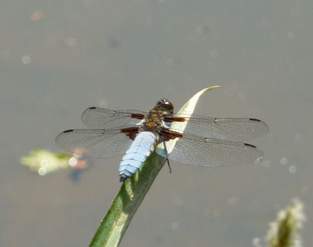 broad-backed chaser dragonfly
