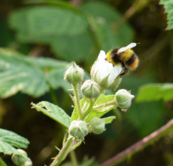 Bumblebee on bramble flower
