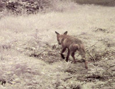 Fox at Alvecote Wood