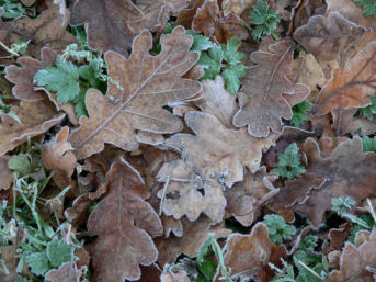 Frozen leaves on ground at Alvecote Wood
