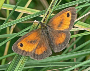 Gatekeeper butterfly at Alvecote Wood