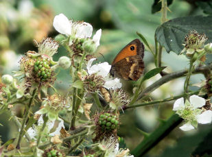Gatekeeper butteryfly at Alvecote Wood