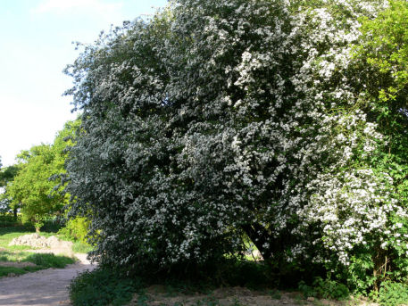 Hawthorn tree in flower
