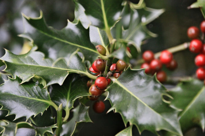 Holly berries at Alvecote Wood