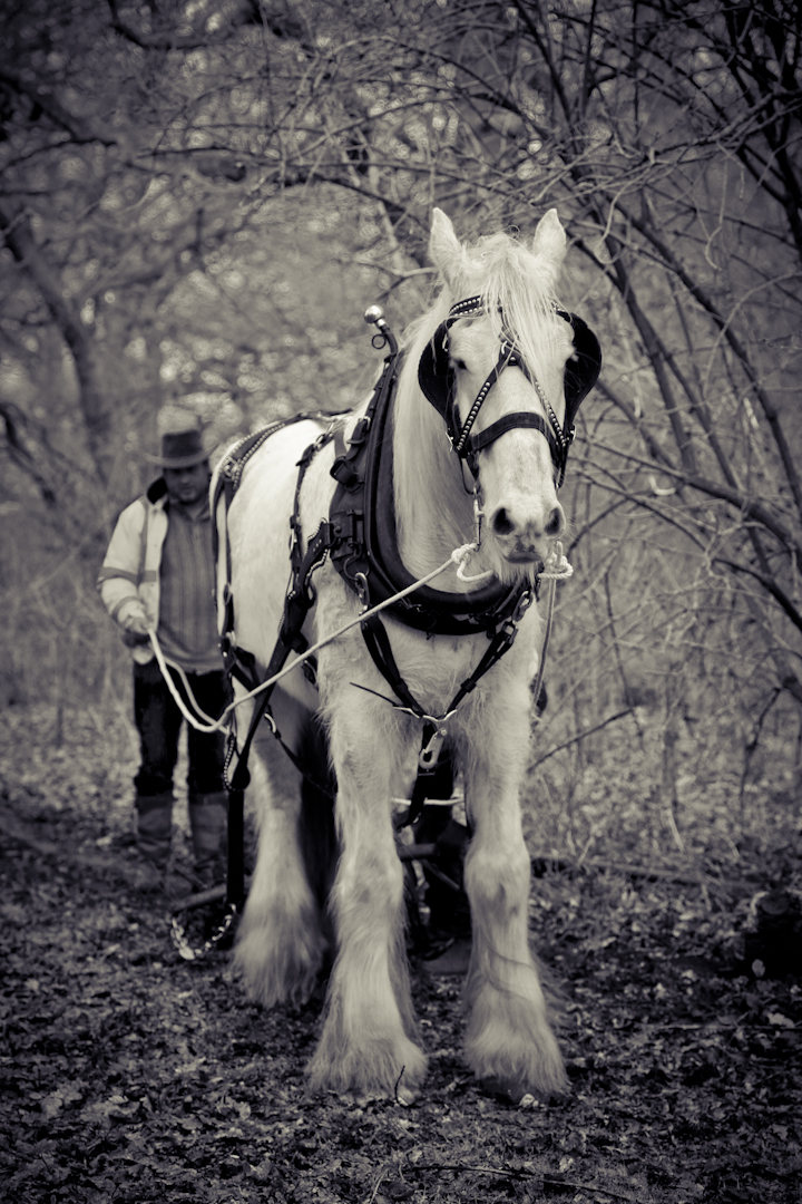 Horse logging team at Alvecote Wood