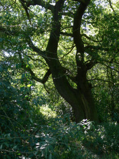 Huge oak tree at Alvecote Wood