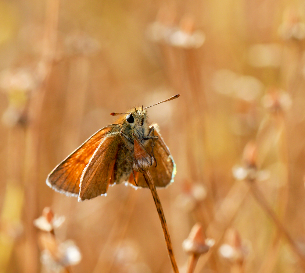 Large skipper clinging to mayweed in our meadow