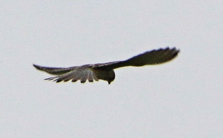 Kestrel hovering in fields beside Alvecote Wood
