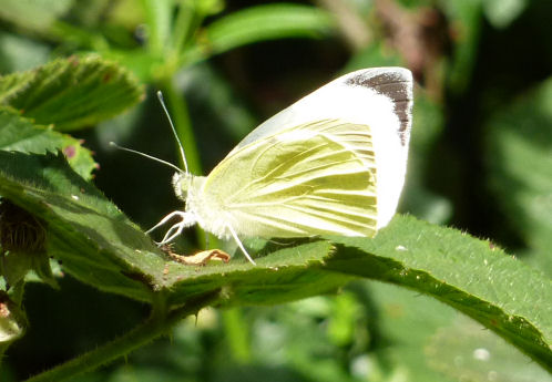 Large white butterfly on bramble