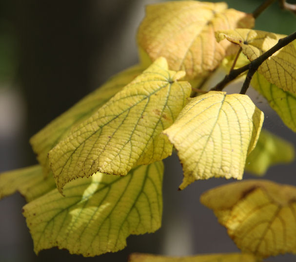 Lime leaves in Autumn