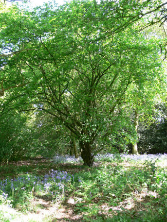 Large hazel tree