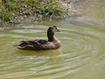 Mallard duck on ponds at Alvecote Wood