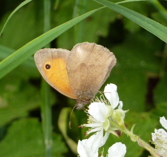 Meadow brown on bramble