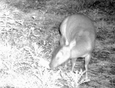 Muntjac deer at night (remote camera)