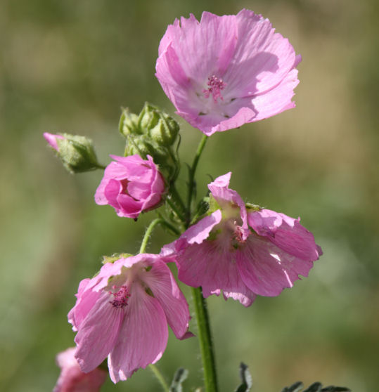 Musk Mallow in flower