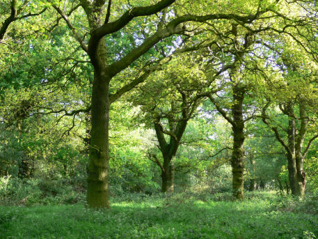 Glade of oak trees in spring