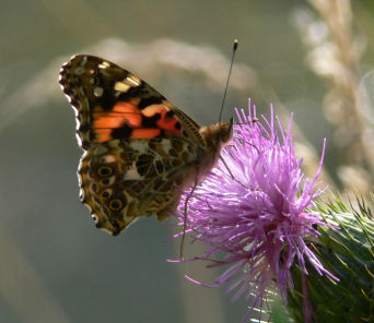 Painted lady butterfly on thistle