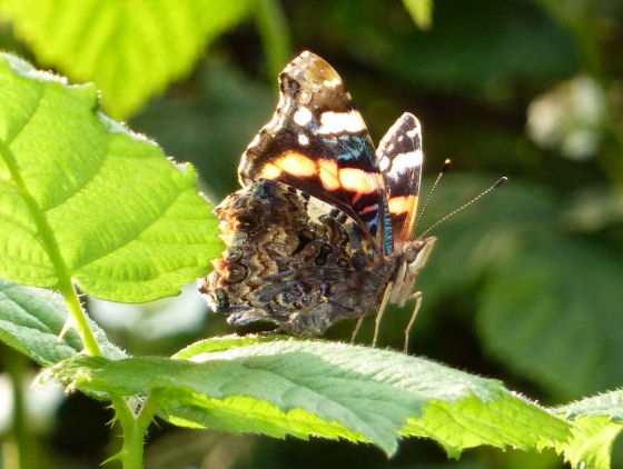 Red admiral butterfly on bramble