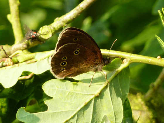 Ringlet butterfly on oak