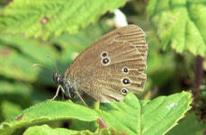 Ringlet butterfly at Alvecote Wood