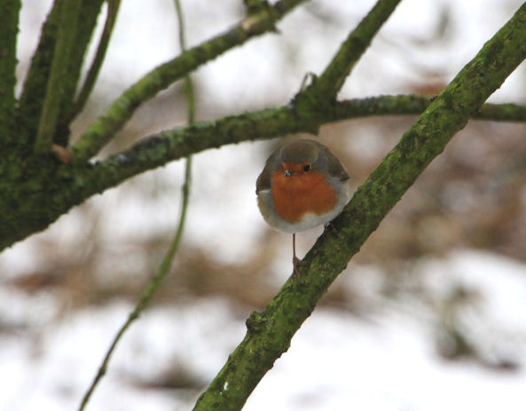 Cheeky little robin