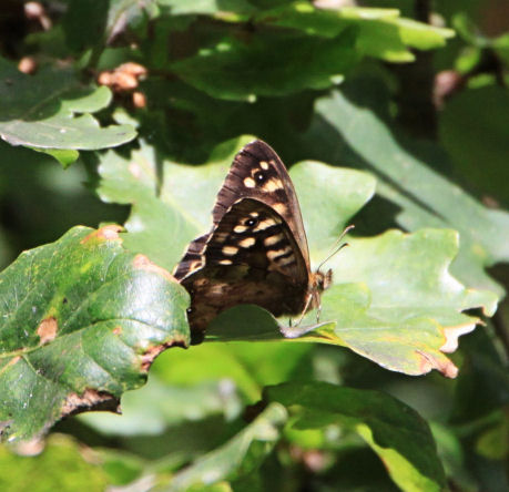 Third generation speckled wood on oak