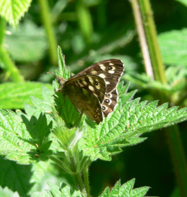 Speckled wood butterfly on nettle