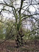 Spooky crab apple at Alvecote Wood