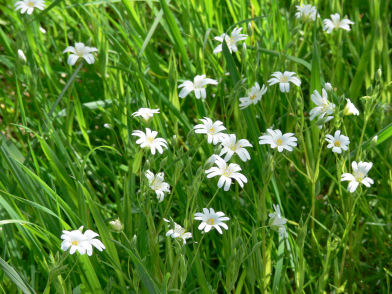 Greater Stitchwort at Alvecote Wood