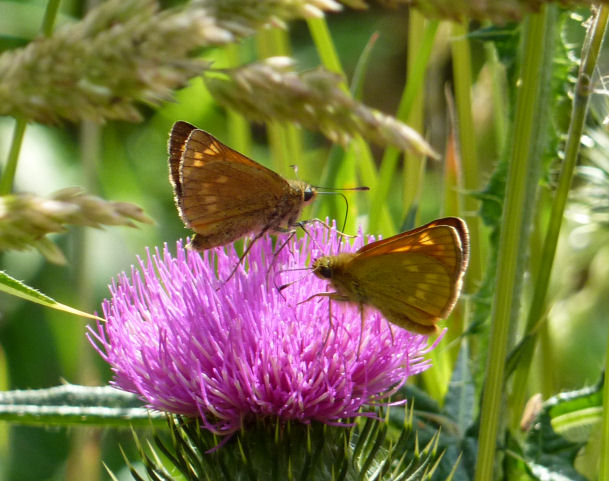 Two large skipper butterflies on thistle
