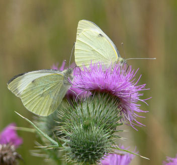 Two large white butterflies on thistle